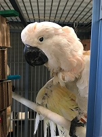 Joey K, The Mutilating Cockatoo Surgery Sponsorship